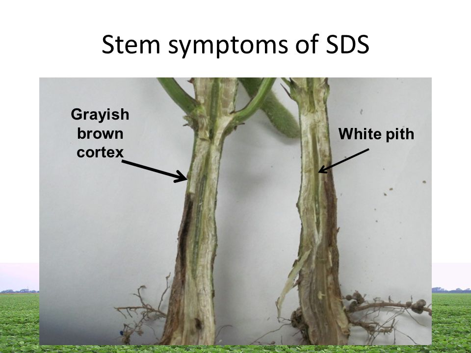 Stem symptoms of SDS White pith Grayish brown cortex