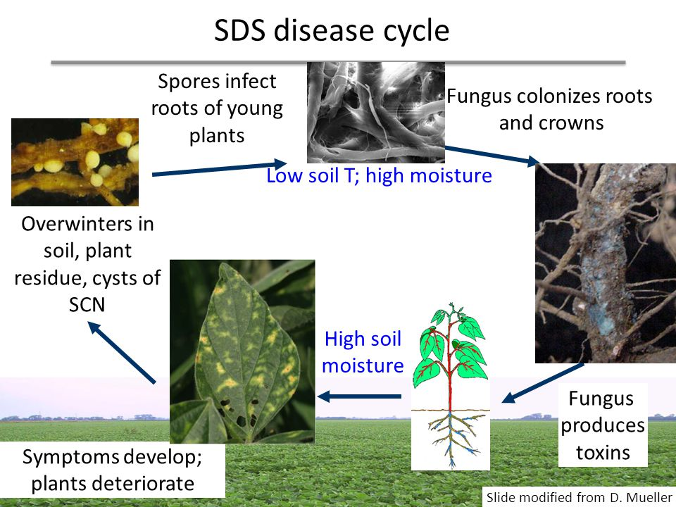 SDS disease cycle Spores infect roots of young plants Low soil T; high moisture Overwinters in soil, plant residue, cysts of SCN Fungus colonizes root