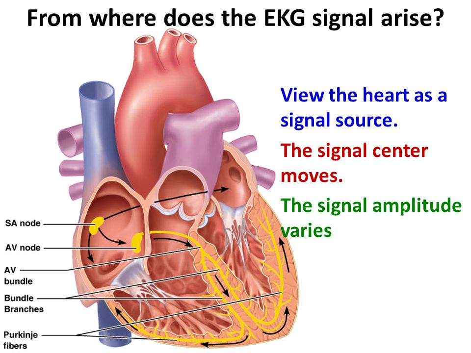 View the heart as a signal source. The signal center moves. The signal amplitude varies From where does the EKG signal arise?