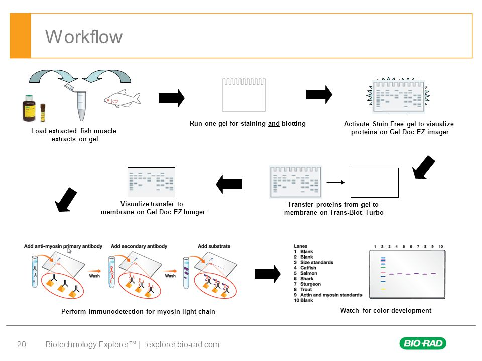 Biotechnology Explorer™ | explorer.bio-rad.com 20 Workflow Load extracted fish muscle extracts on gel Run one gel for staining and blotting Activate S
