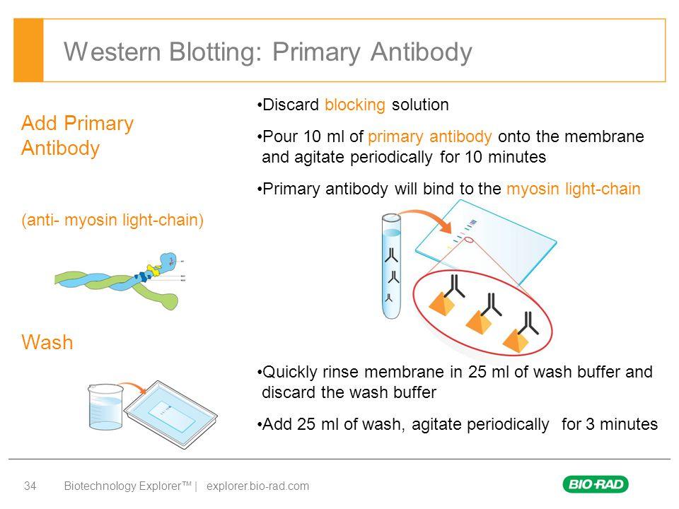 Biotechnology Explorer™ | explorer.bio-rad.com 34 Western Blotting: Primary Antibody Add Primary Antibody (anti-  myosin light-chain) Wash Discard bl
