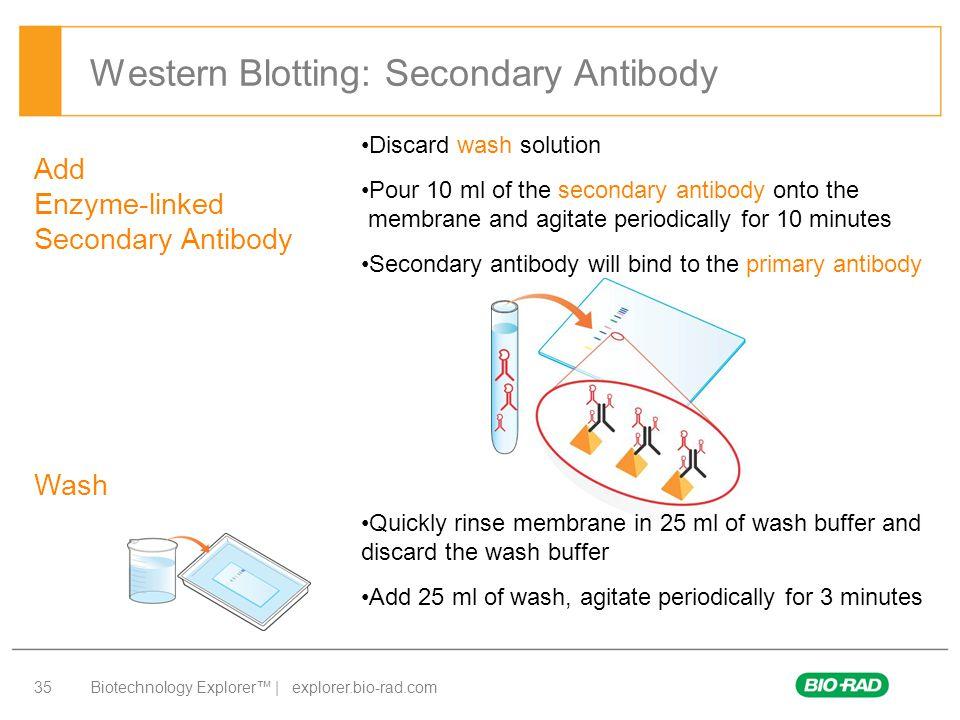 Biotechnology Explorer™ | explorer.bio-rad.com 35 Western Blotting: Secondary Antibody Add Enzyme-linked Secondary Antibody Wash Discard wash solution