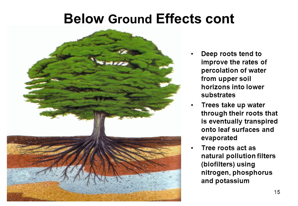 15 Below Ground Effects cont Deep roots tend to improve the rates of percolation of water from upper soil horizons into lower substrates Trees take up water through their roots that is eventually transpired onto leaf surfaces and evaporated Tree roots act as natural pollution filters (biofilters) using nitrogen, phosphorus and potassium