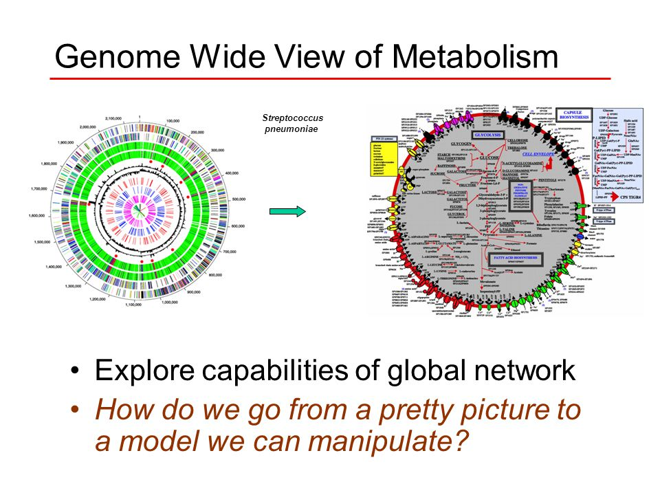 Genome Wide View of Metabolism Streptococcus pneumoniae Explore capabilities of global network How do we go from a pretty picture to a model we can manipulate
