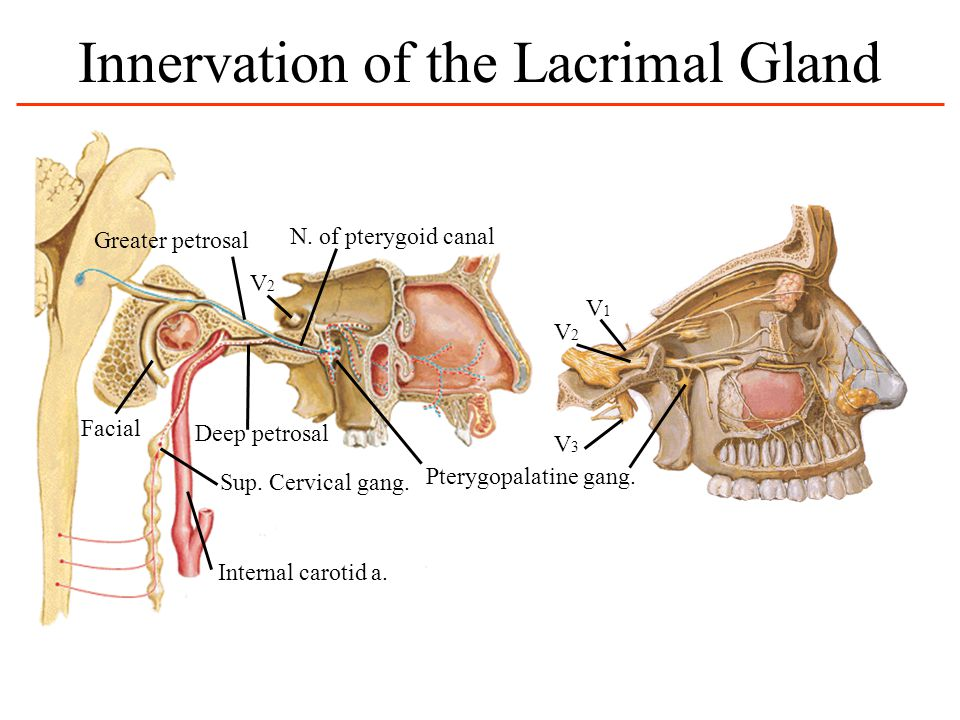 Identify the parotid, submandibular and sublingual salivary glands. Trace the course of their innervation and follow the flow of saliva from each glan