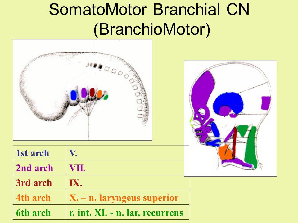 SomatoMotor Branchial CN (BranchioMotor) 1st archV. 2nd archVII. 3rd archIX. 4th archX. – n. laryngeus superior 6th archr. int. XI. - n. lar. recurren