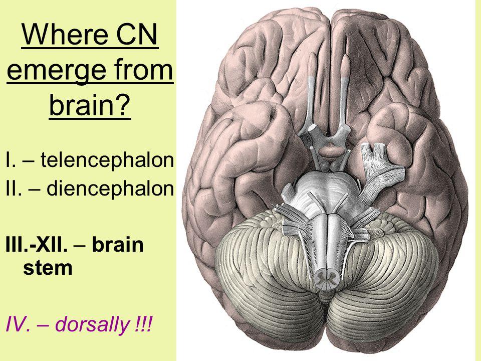 Where CN emerge from brain? I. – telencephalon II. – diencephalon III.-XII. – brain stem IV. – dorsally !!!