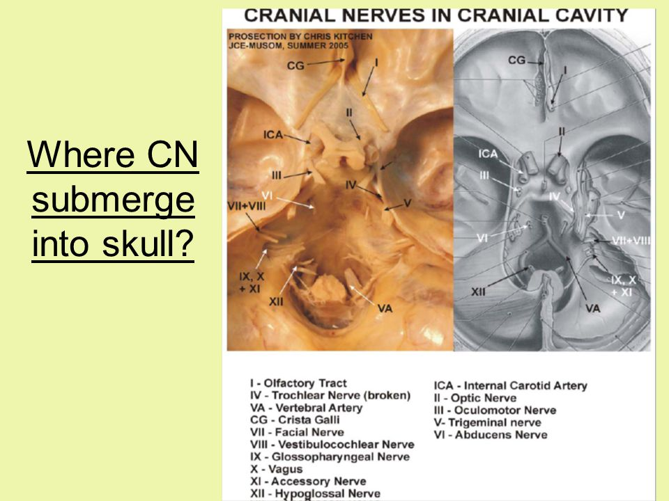Where CN submerge into skull?