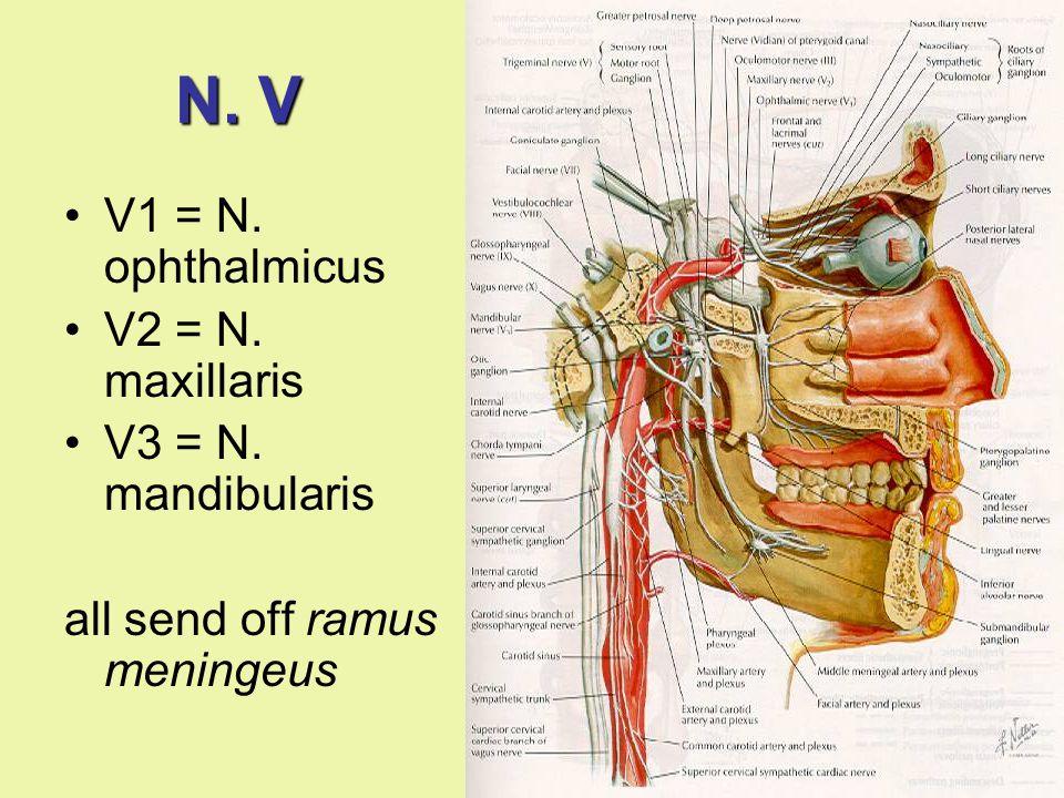N. V V1 = N. ophthalmicus V2 = N. maxillaris V3 = N. mandibularis all send off ramus meningeus