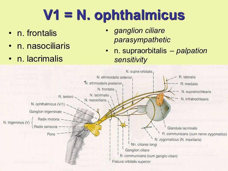 V1 = N. ophthalmicus n. frontalis n. nasociliaris n. lacrimalis ganglion ciliare parasympathetic n. supraorbitalis – palpation sensitivity
