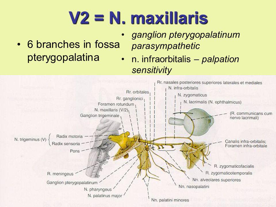 V2 = N. maxillaris 6 branches in fossa pterygopalatina ganglion pterygopalatinum parasympathetic n. infraorbitalis – palpation sensitivity