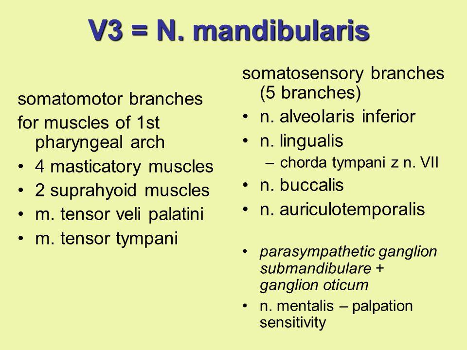 V3 = N. mandibularis somatomotor branches for muscles of 1st pharyngeal arch 4 masticatory muscles 2 suprahyoid muscles m. tensor veli palatini m. ten