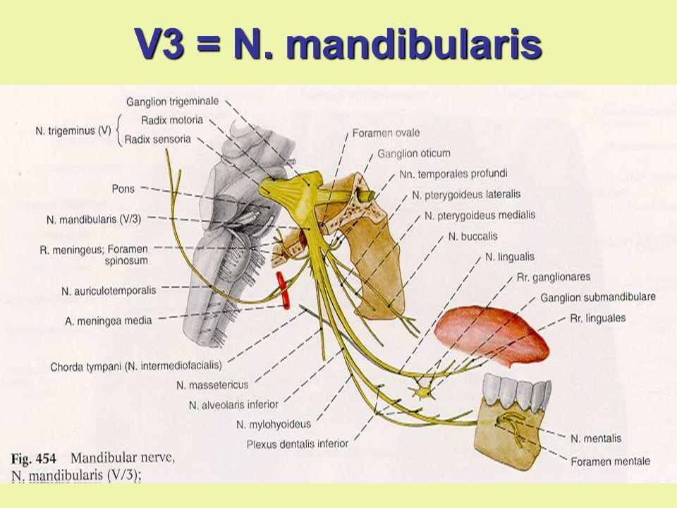 V3 = N. mandibularis