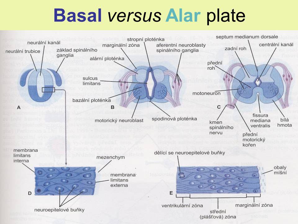 Developmental classification mediolaterally somatomotor somatic somatomotor branchial visceromotor viscerosensory somatosensory special sensory
