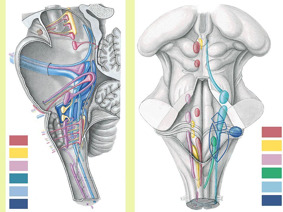SomatoMotor somatic CN preotic myotoms (somitomers) form external muscles of eyeball – n.