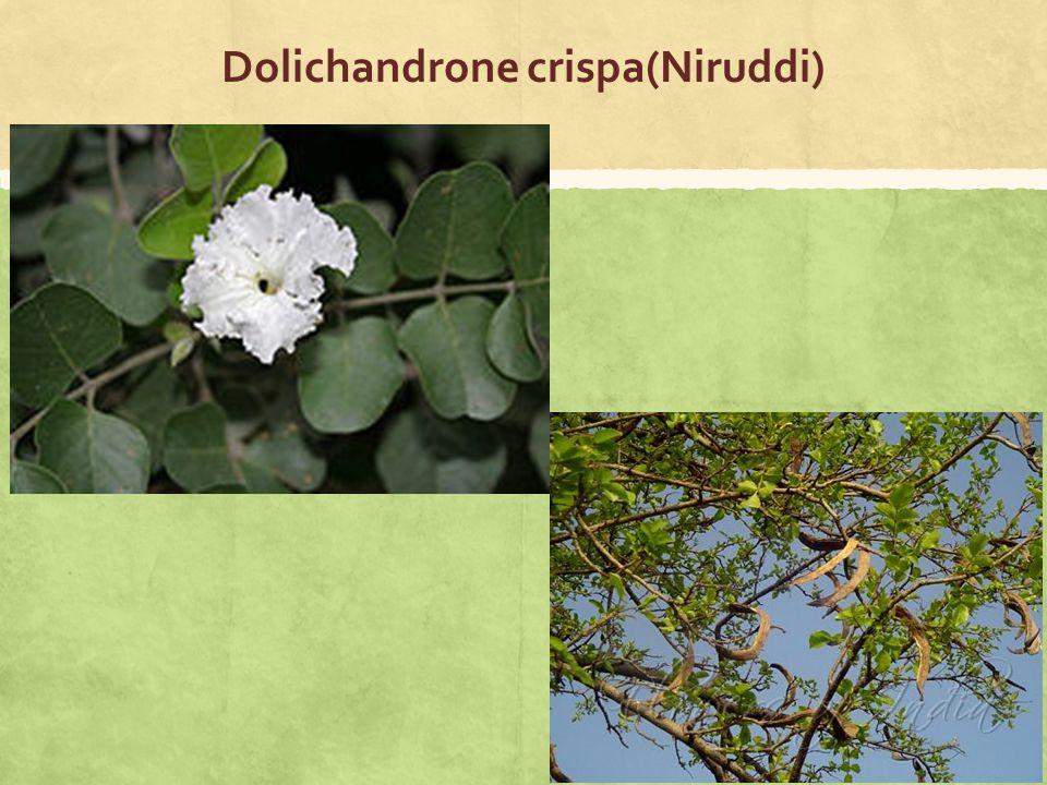 Dolichandrone crispa(Niruddi)