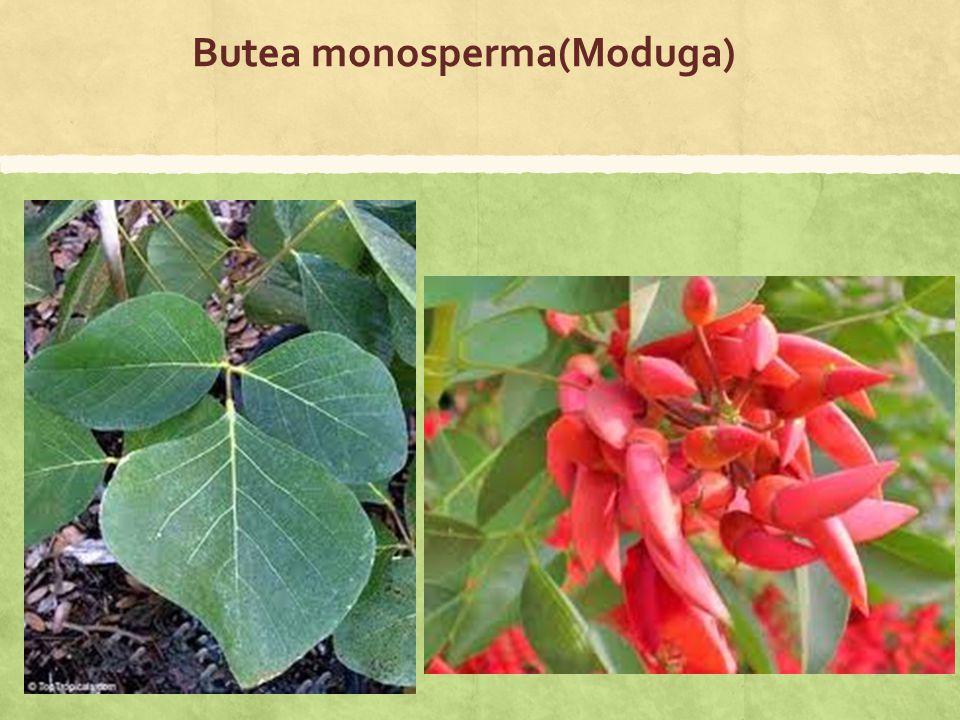 Butea monosperma(Moduga)