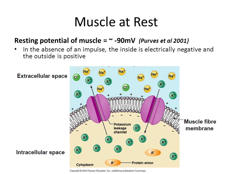 Muscle at Rest Resting potential of muscle = ~ -90mV (Purves et al 2001) In the absence of an impulse, the inside is electrically negative and the out