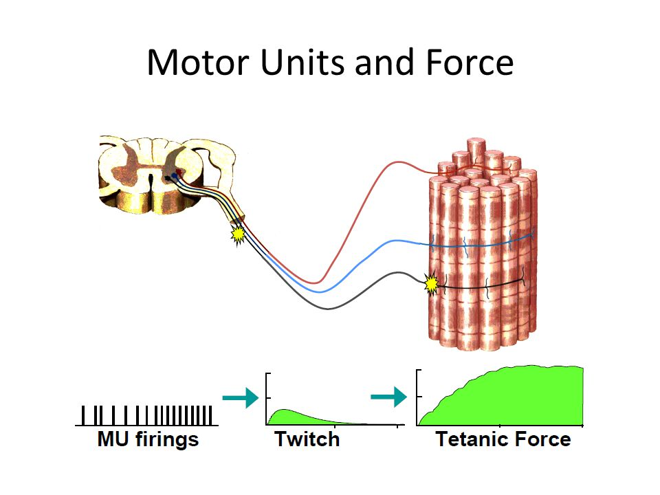Motor Units and Force