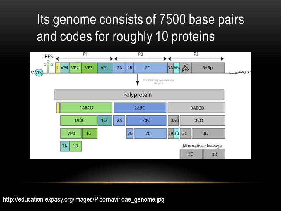 Its genome consists of 7500 base pairs and codes for roughly 10 proteins http://education.expasy.org/images/Picornaviridae_genome.jpg