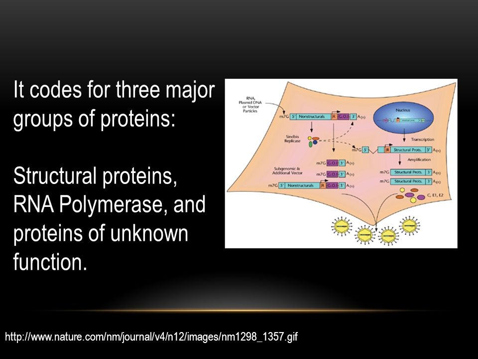 It codes for three major groups of proteins: Structural proteins, RNA Polymerase, and proteins of unknown function.
