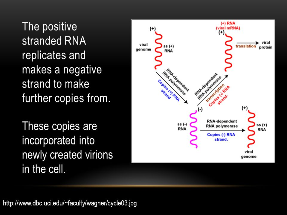 The positive stranded RNA replicates and makes a negative strand to make further copies from.