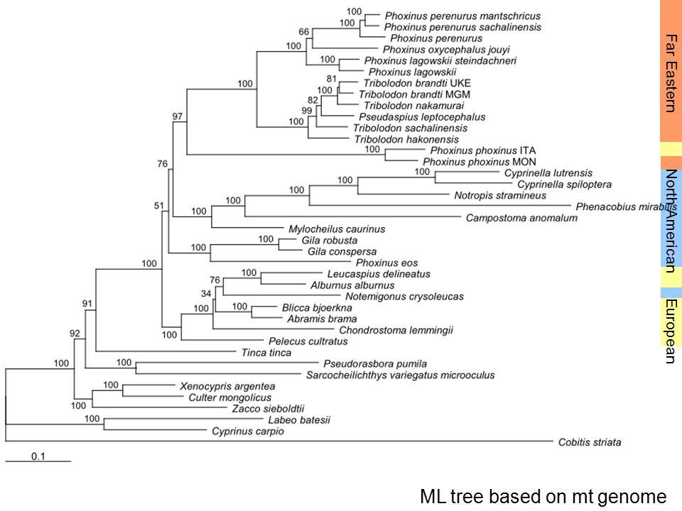 Far Eastern European North American ML tree based on mt genome