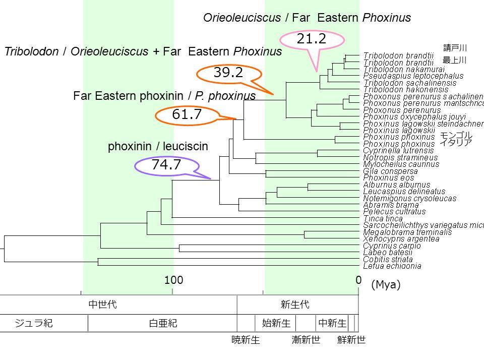 中世代新生代 白亜紀ジュラ紀 暁新生 始新生 漸新世 中新生 鮮新世 1000 (Mya) phoxinin / leuciscin 74.7 Far Eastern phoxinin / P. phoxinus 61.7 Orieoleuciscus / Far Eastern Phoxinus