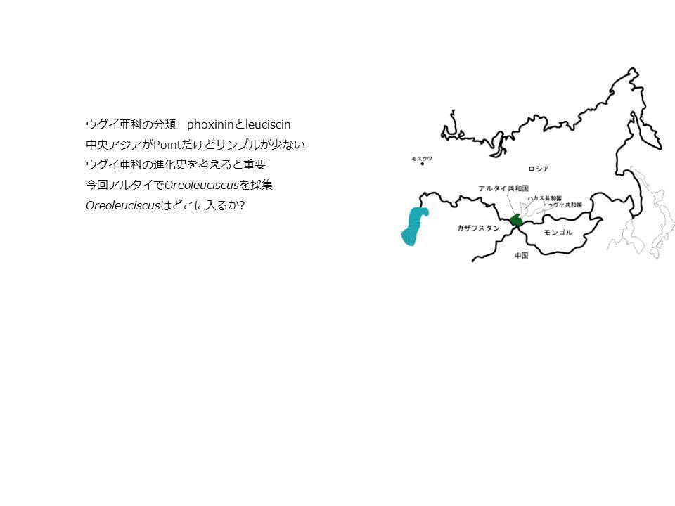 ウグイ亜科の分類 phoxinin と leuciscin 中央アジアが Point だけどサンプルが少ない ウグイ亜科の進化史を考えると重要 今回アルタイで Oreoleuciscus を採集 Oreoleuciscus はどこに入るか ?