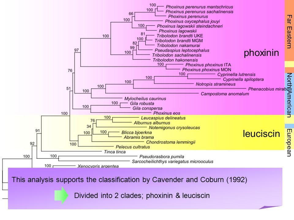 phoxinin leuciscin Far Eastern European North American This analysis supports the classification by Cavender and Coburn (1992) Divided into 2 clades; phoxinin & leuciscin