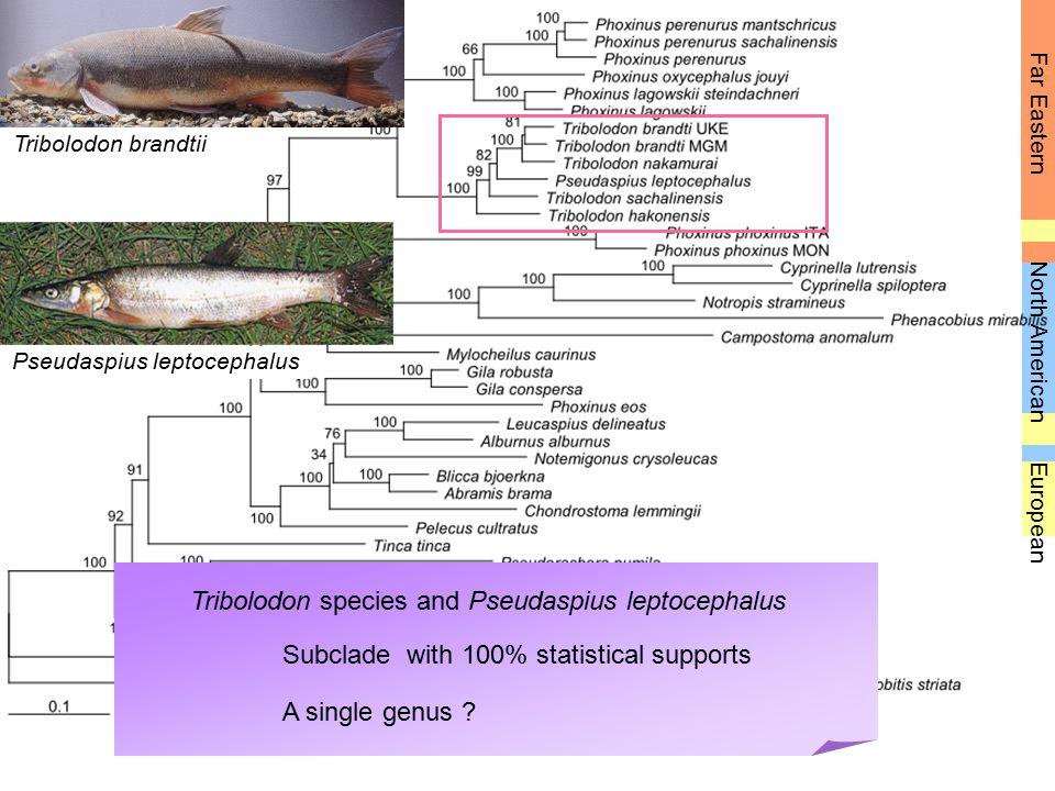 Far Eastern European North American Pseudaspius leptocephalus Tribolodon brandtii Tribolodon species and Pseudaspius leptocephalus A single genus ? Su