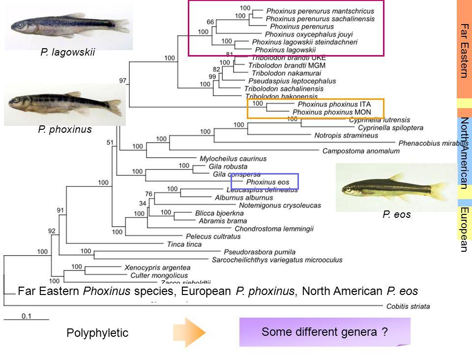 Far Eastern European North American Far Eastern Phoxinus species, European P. phoxinus, North American P. eos P. eos P. lagowskii P. phoxinus Polyphyl