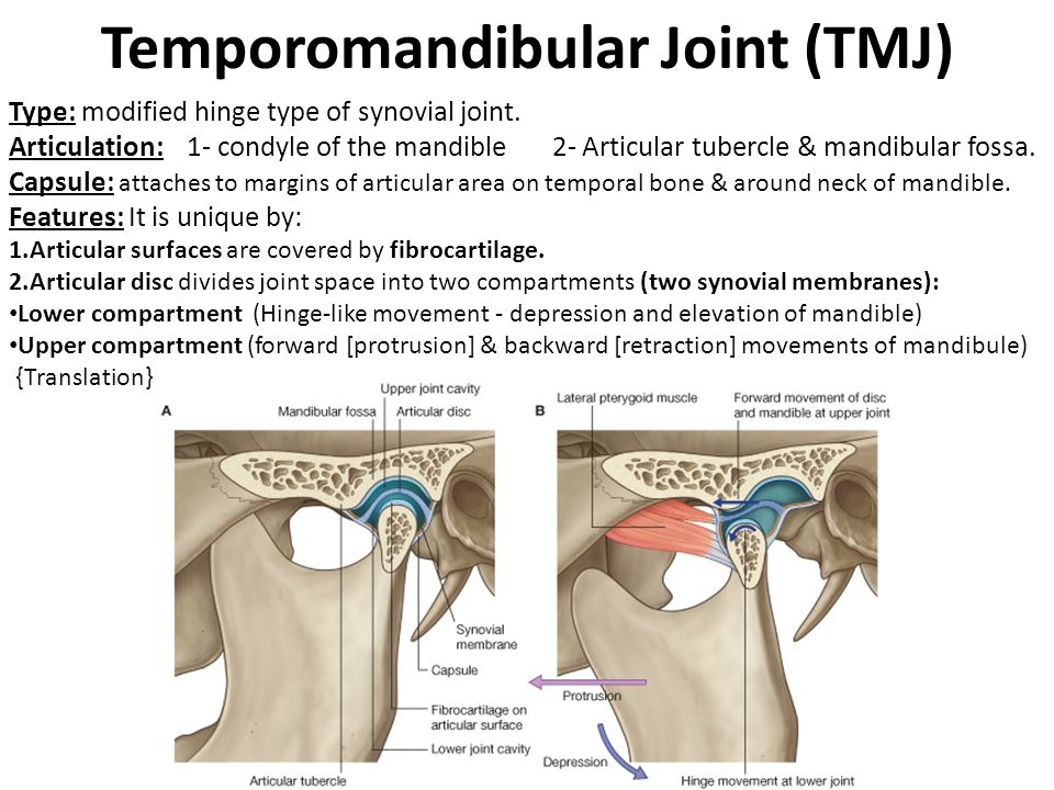 Temporomandibular Joint (TMJ) Type: modified hinge type of synovial joint. Articulation: 1- condyle of the mandible 2- Articular tubercle & mandibular