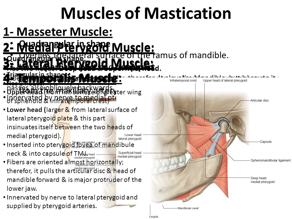 Muscles of Mastication 1- Masseter Muscle: 2- Medial Pterygoid Muscle: 3- Lateral Pterygoid Muscle: 4- Temporalis Muscle: Quadrangular in shape Overli