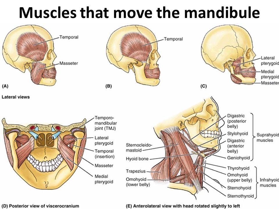 Muscles that move the mandibule