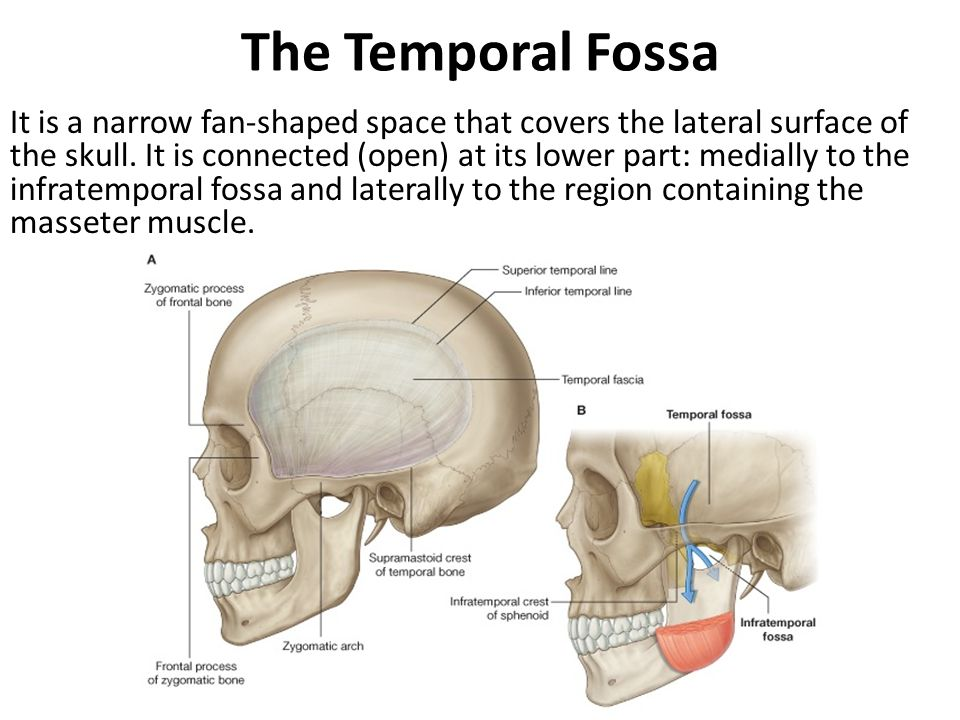 Chorda tympani: It carries taste fibers from anterior 2/3 of tongue & parasympathetic innervation to all salivary glands below the level of oral fissure.