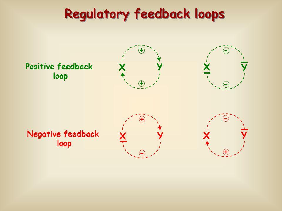 Regulatory feedback loops X Y - - X Y + + Positive feedback loop X Y + - Negative feedback loop X Y + -