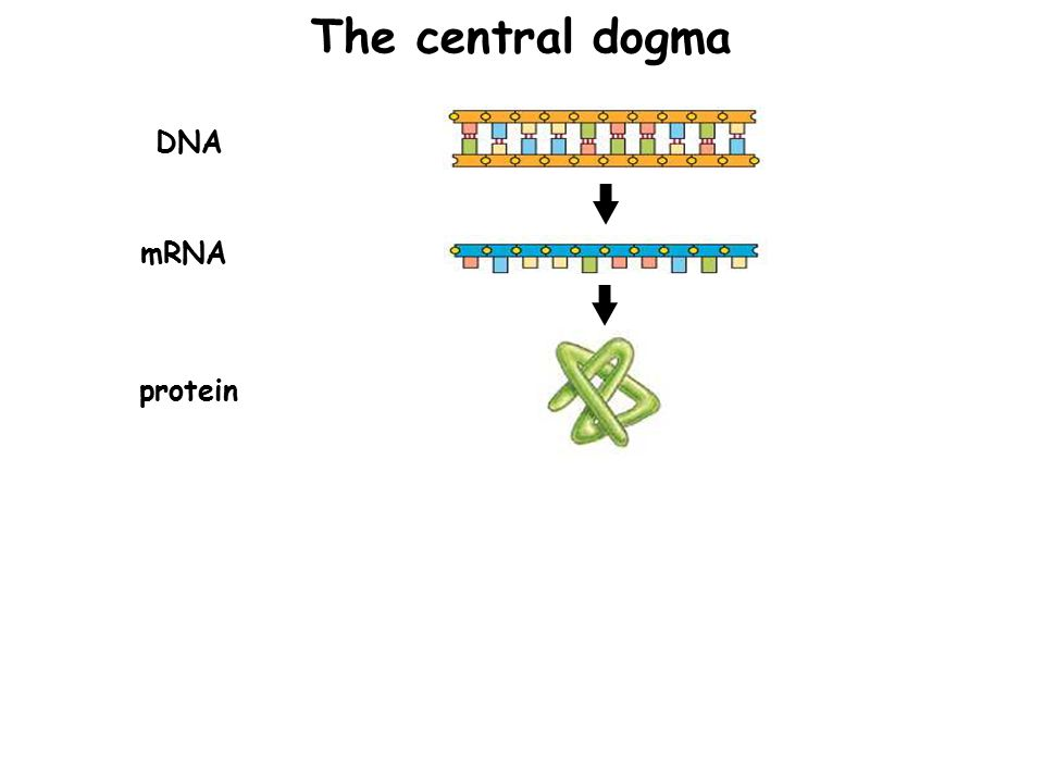 DNA mRNA protein The central dogma