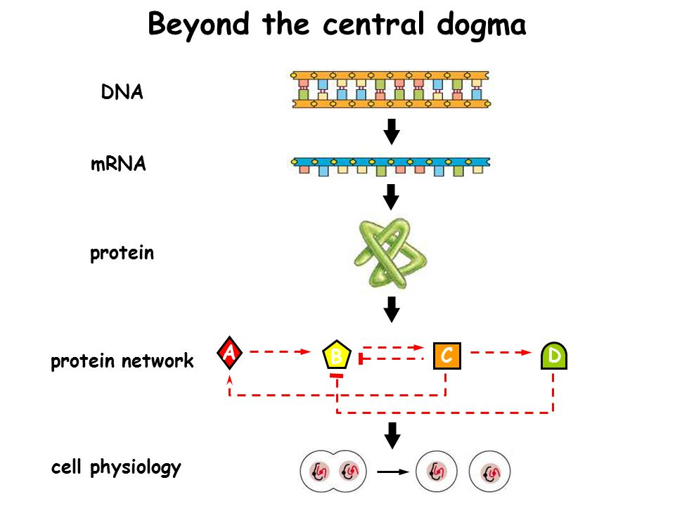 DNA mRNA protein cell physiology protein network A B C D Beyond the central dogma