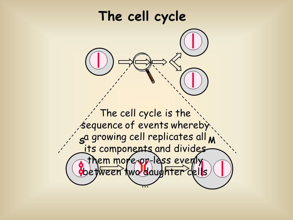 The cell cycle S M The cell cycle is the sequence of events whereby a growing cell replicates all its components and divides them more-or-less evenly between two daughter cells...