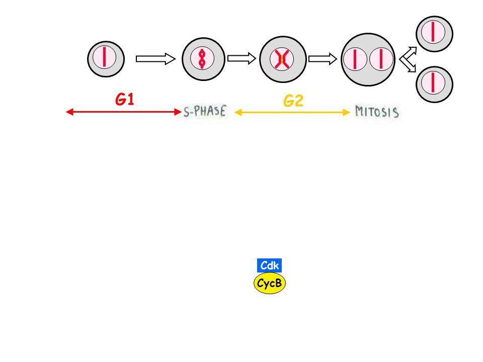Cdk CycB G1 G2 cell mass doubling time + + Start G2/M exit