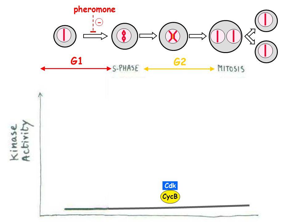 G1 G2 + Cdk CycB pheromone -