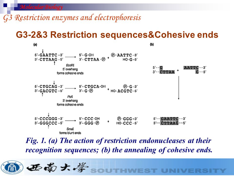 G3-1 Restriction endonuclease Restriction enonucleases are bacterial enzymes which cut(hydrolyze) DNA into defined and reproducible fragments.