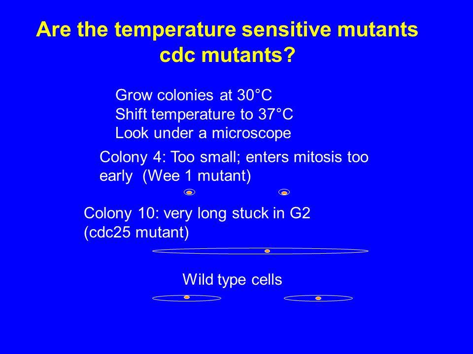 Are the temperature sensitive mutants cdc mutants.