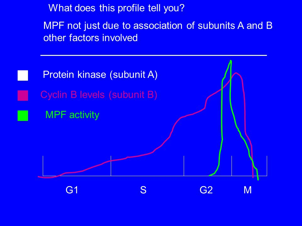 G1 S G2 M Protein kinase (subunit A) Cyclin B levels (subunit B) MPF activity What does this profile tell you.