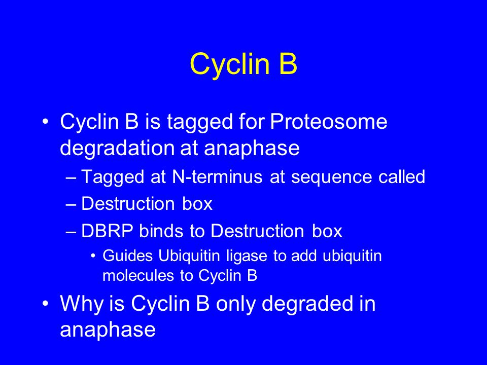 Cyclin B Cyclin B is tagged for Proteosome degradation at anaphase –Tagged at N-terminus at sequence called –Destruction box –DBRP binds to Destruction box Guides Ubiquitin ligase to add ubiquitin molecules to Cyclin B Why is Cyclin B only degraded in anaphase