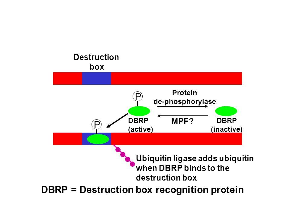 P Protein de-phosphorylase MPF.