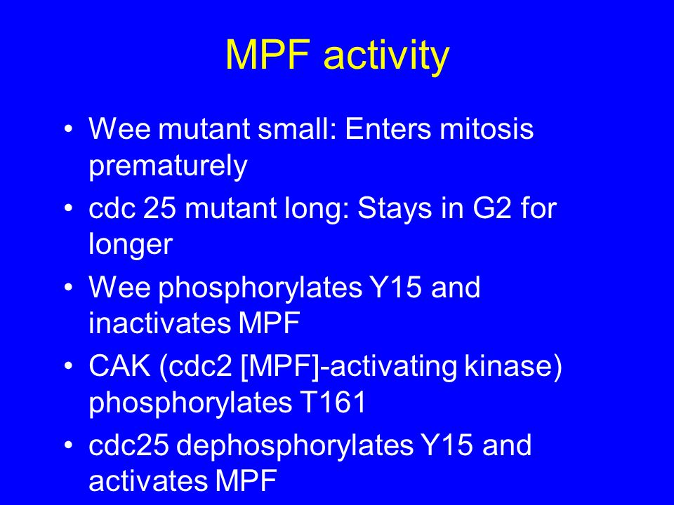 MPF activity Wee mutant small: Enters mitosis prematurely cdc 25 mutant long: Stays in G2 for longer Wee phosphorylates Y15 and inactivates MPF CAK (cdc2 [MPF]-activating kinase) phosphorylates T161 cdc25 dephosphorylates Y15 and activates MPF