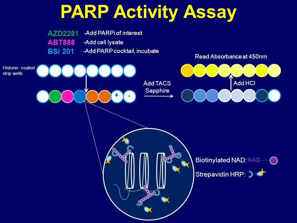 PARP Activity Assay Histone- coated strip wells AZD2281 ABT888 BSI 201 -Add PARPi of interest -Add cell lysate -Add PARP cocktail, incubate NAD Add TACS Sapphire Add HCl Read Absorbance at 450nm Biotinylated NAD: Strepavidin HRP: + -