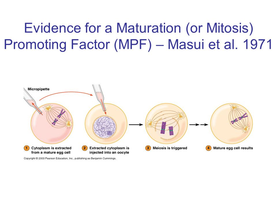 Evidence for a Maturation (or Mitosis) Promoting Factor (MPF) – Masui et al. 1971